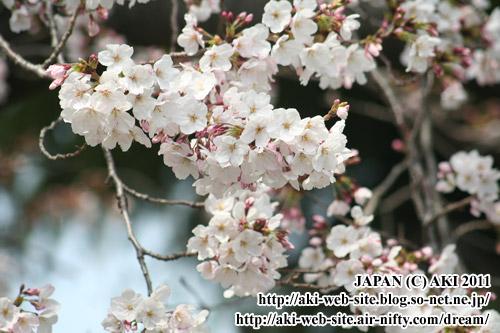 2011.4.2.SAKURA.01.jpg