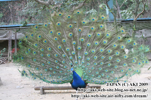 Indian Peafowl_Pavo cristatus019.jpg